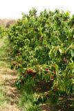 在结构树的樱桃 库存图片