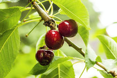 在结构树的樱桃 免版税图库摄影