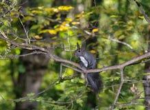 在结构树的灰鼠 免版税库存照片