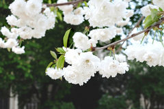 在结构树的白花 库存图片