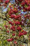 在结构树的红色浆果 免版税图库摄影