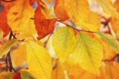 在结构树的红色秋叶 库存照片