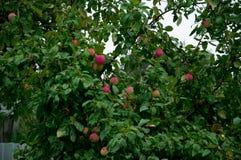 在结构树的红色苹果 免版税图库摄影