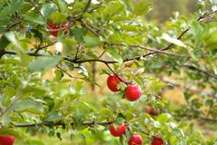 在结构树的红色苹果 库存图片