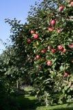 在结构树的苹果 免版税库存图片