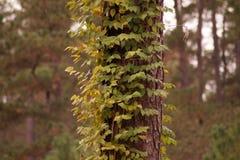 在结构树的藤 免版税库存图片