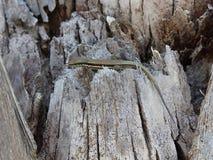 在结构树的蜥蜴 免版税库存照片