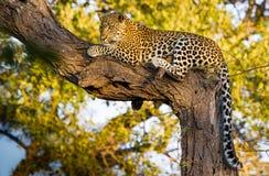在结构树的豹子 图库摄影