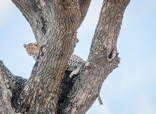 在结构树的豹子 库存图片