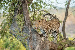 在结构树的豹子 免版税库存图片