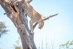 在结构树的豹子 库存照片