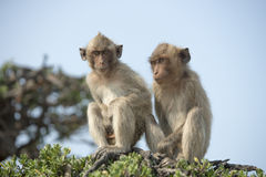 在结构树的猴子 库存照片