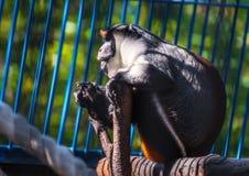 在结构树的猴子 免版税库存图片