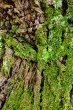 在结构树的绿色青苔 生苔背景的吠声 库存照片