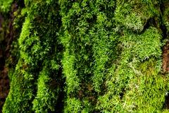 在结构树的绿色青苔 生苔背景的吠声 免版税库存照片