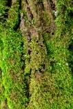 在结构树的绿色青苔 生苔背景的吠声 免版税库存图片
