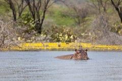在巴林戈湖,肯尼亚的河马 免版税库存照片