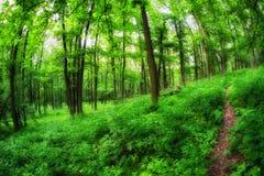 在绿树林的森林道路 库存图片