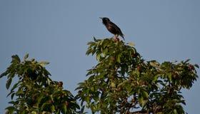 在洋梨树的一个鹅口疮黑鹂 免版税库存照片