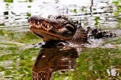在养殖前的2条鳄鱼在沼泽地 免版税库存图片