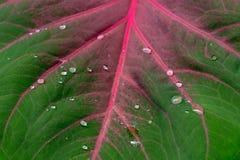在贝母叶子的下落 库存照片