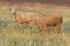 在暴民内的绵羊 库存图片