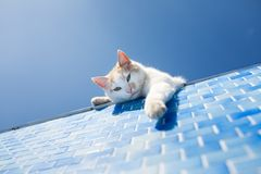 在水池旁边的嬉戏的白色猫 库存照片