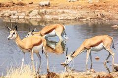 在水池的三只跳羚 库存图片