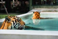 在水池的两只老虎 免版税库存图片