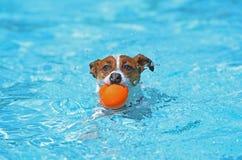 在水池的乐趣-杰克罗素狗 图库摄影