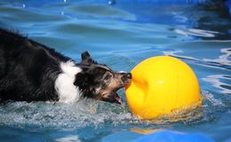 在水池的博德牧羊犬 免版税图库摄影