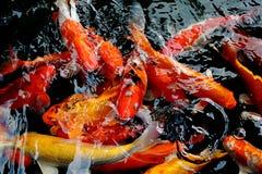 在水池的各种各样的颜色koi鱼游泳 库存图片