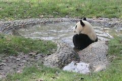 洗在水池的大熊猫浴 库存照片