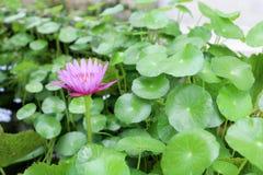 在水池的开花紫色莲花 库存照片