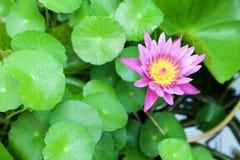 在水池的开花紫色莲花 免版税库存图片