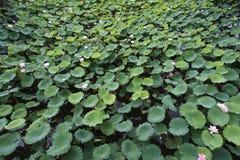 许多在水池的莲花 免版税库存图片