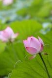 莲花和莲花叶子 免版税库存照片