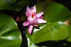 在水池的桃红色莲花 免版税图库摄影