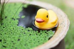 在水池的橡胶鸭子 免版税图库摄影