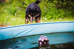 在水池的狗等待的球 免版税图库摄影