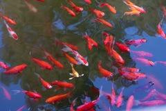 在水池的许多cryprinus carpiod鱼 免版税库存照片