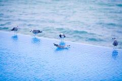 在水池的边缘的幼小海鸥 免版税库存图片