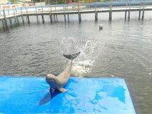 在水池的逗人喜爱的海豚 免版税库存照片