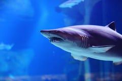 在水池的鲨鱼 免版税库存照片
