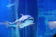 在水池的鲨鱼 免版税库存图片