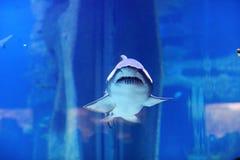 在水池的鲨鱼 免版税图库摄影