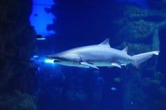 在水池的鲨鱼 库存图片