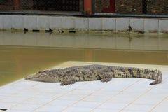 在水池的鳄鱼身体 图库摄影