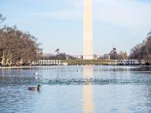 在水池的鸭子 免版税库存图片
