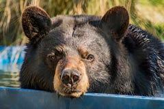 在水池的黑熊游泳 图库摄影
